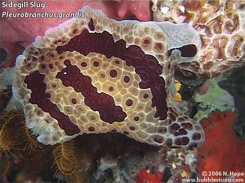 "A montage of night-dive video footage from ""Muka"", right in front of Two Fish Divers' resort on Bunaken Island.  The video features a snowflake moray, a blackspotted puffer, a stareye parrotfish (Carolines parrotfish), a Chromodoris dianae nudibranch, a Pleurobranchus grandis sidegill slug, a twinspot lionfish (Fu Manchu lionfish), tassled scorpionfish, and many crustaceans including a decorator crab, a sponge crab, a splendid round crab, a blue-spotted hermit crab, a pronghorn spiny lobster and a marble shrimp.  Shot in June 2006 with http://www.TwoFishDivers.com  More Bunaken videos at http://www.bubblevision.com/underwater-videos/Bunaken-Manado/"