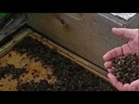 Deadly Honey BEES APOCALYPSE 12 Million Mysteriously, FLORIDA 4.24.12. Famine! Looms