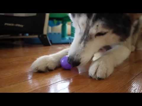 Easter Bunny Visits Mishka the Talking Husky!