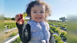 Strawberry picking with toddlers!