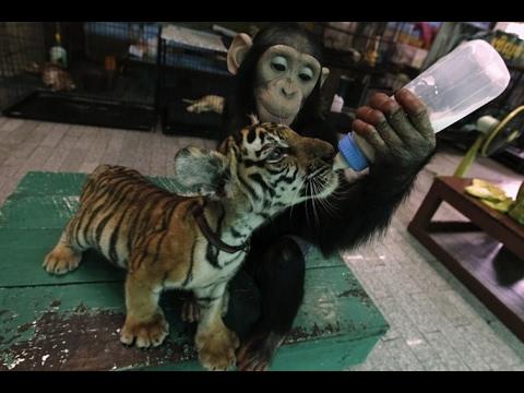 Материнский инстинкт у животных - животные воспитывающие чужих детенышей
