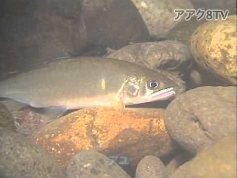 アアク8TV水中映像 ×Goovie 岐阜県の魚類04 夜の水中