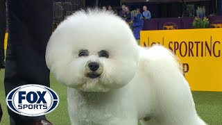 Flynn the Bichon Frise wins the Non Sporting Group   WESTMINSTER DOG SHOW (2018)   FOX SPORTS