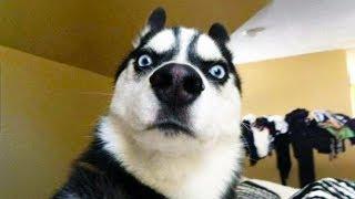ANIMAUX DRÔLES nous fera RIRE extrêmement dur - Funny DOGS et CATS Compilation