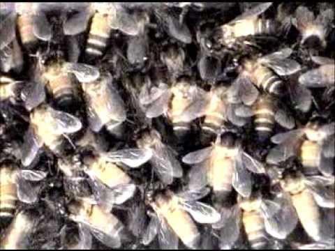 Wild honey bee Comb Video closeup by Shirishkumar Patil  Amravati