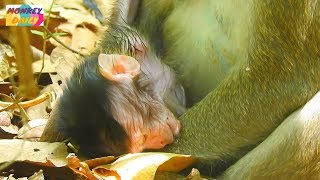 Very pity baby so weak cos no milk to support|Kidnapper don't give baby back to mom|Monkey Daily 785