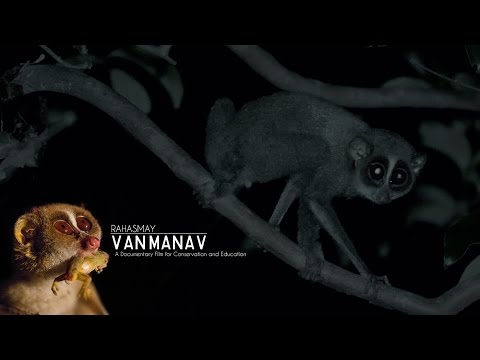 Rahasmay Van-Manav - Slender Loris