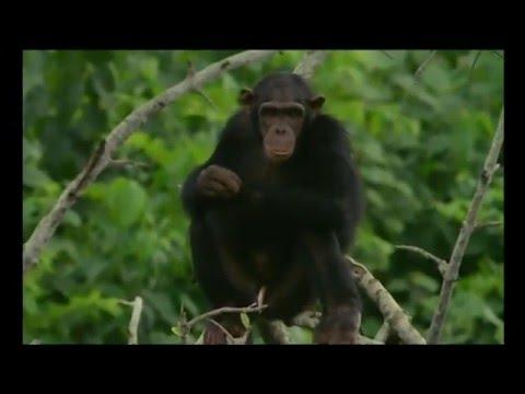 Docteur Chimpanzé