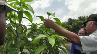 Plantacion de Mango ( Famosa Agricola ) Prt 2 de 2