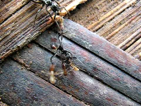 Ants vs termites: Army ants attack termite nest HQ version ... Army Ants Attacking
