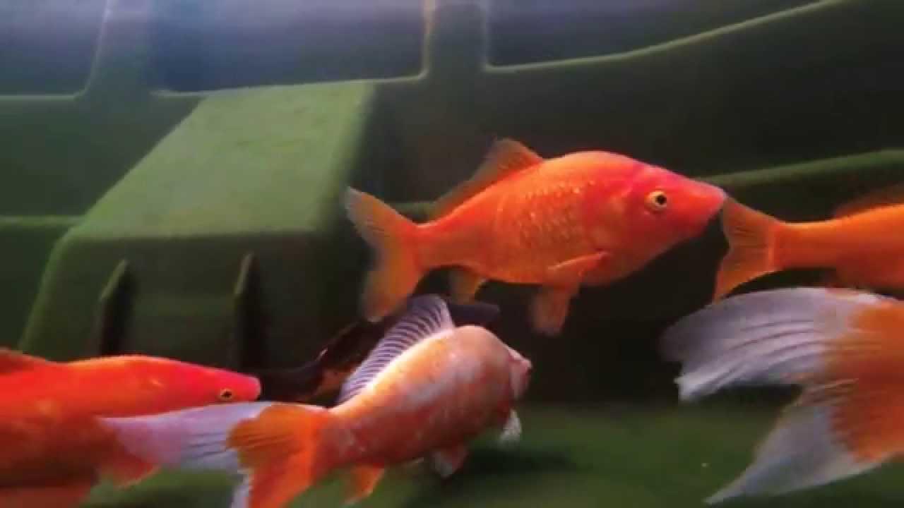 Koi fish 1 gopro youtube for Koi pond return jets