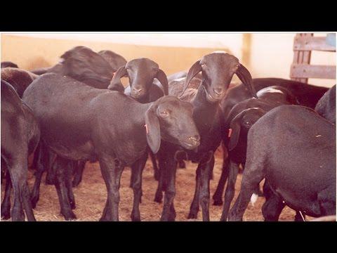 Clique e veja o vídeo Curso Criação de Ovinos Deslanados