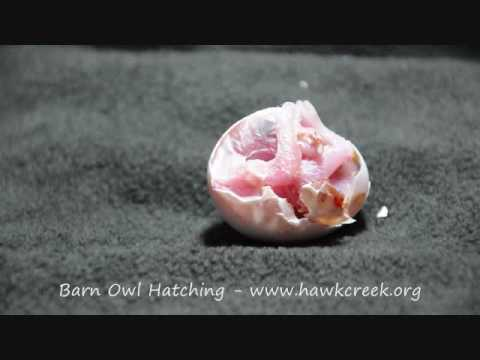 BARN OWL EGG HATCHING