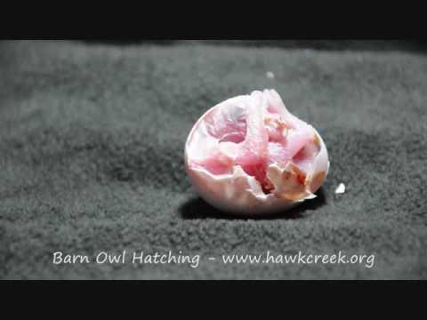 Barn Owl Egg Hatching Youtube