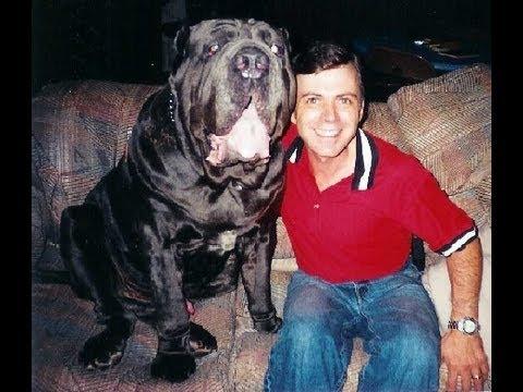 Biggest dog neapolitan mastiff ch samson largest and heaviest