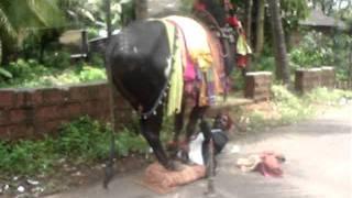 Rajasthani dance with bulls