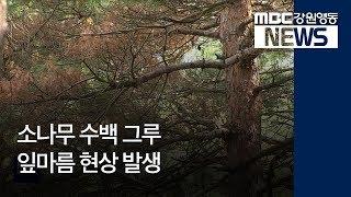 R)소나무 수백 그루 잎마름 현상 발생