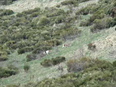 chasse,lièvre,chien courant,chien d' artois,beagle