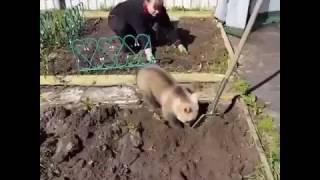 Обычный день в России: медвежонок помогает на даче