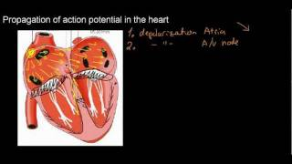 lecture 21 part 2 (ECG, AP in the heart)