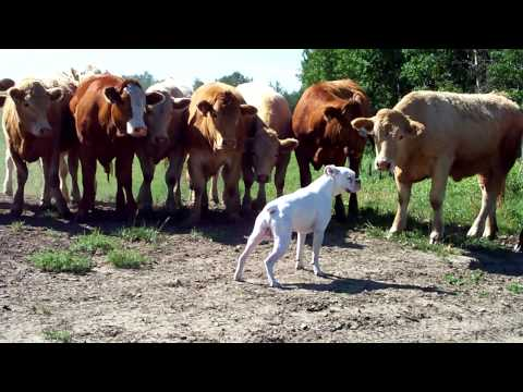 boxer vs cows