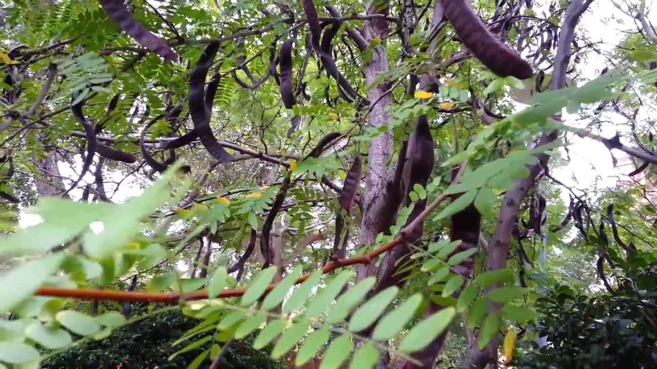 Honey Locust Seed Pods Poisonous Honey Locust Seed Pods