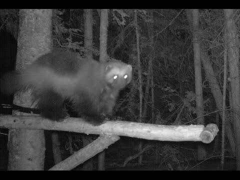 Wolverine Attacks Trail Camera! | Citizen Wildlife Monitoring Program