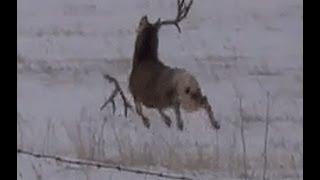 Mule deer buck with droptine shedding antlers on film! a must see!