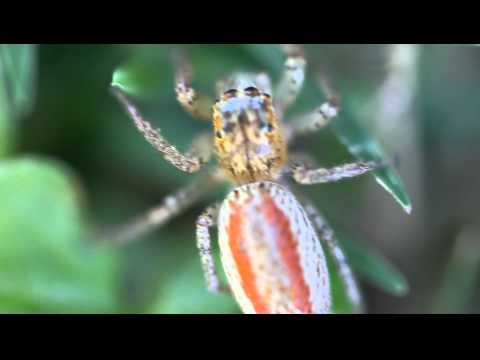 This is a macro video in HD of a Female Dimorphic Jumping Spider.  The video was shot with a Canon 5