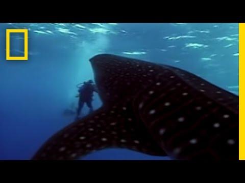 Whale Shark Video
