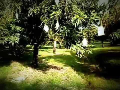 Mango Farm in Malaysia - Esty Ventures Sdn Bhd.( Malaysia )