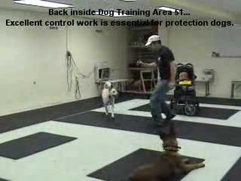 Guard dog Attack training German Shepherd/Malinois k9-1.com