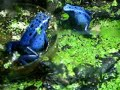 Dendrobates Azureus