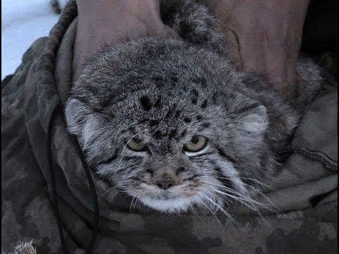 Учет манула в Даурском заповеднике Pallas's Cat, студия «Зов тайги»