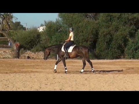 Übergänge am langen Zügel reiten junges Pferd