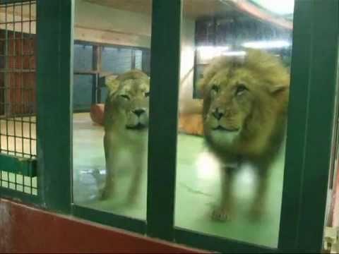 りっキーとティモン☆円山動物園ライオン