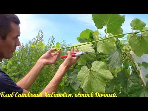 Обрезка лоз винограда летом,в июле.