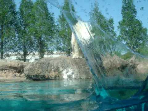おやつの魚をめざして水中にダイブする白くまその2(ホッキョクグマ)