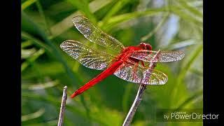红蜻蜓 Hong Qing Ting 许明明