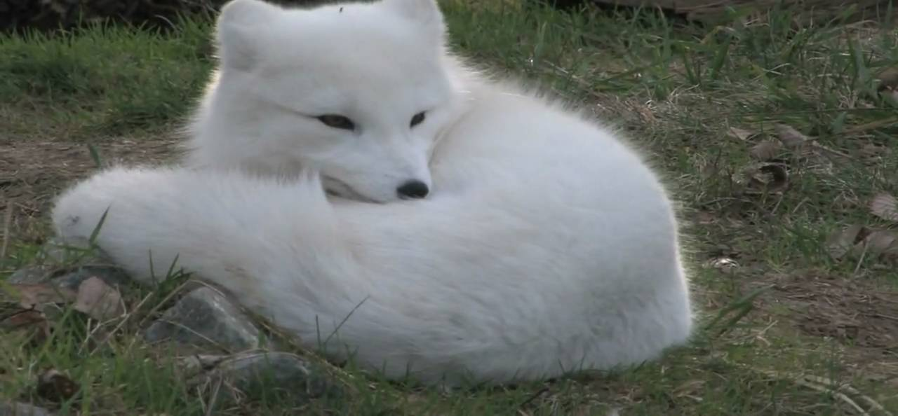 Arctic Fox Michael Fromberg Youtube