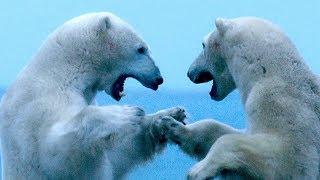 Meet the Polar Bears of Hudson Bay | Op-Docs