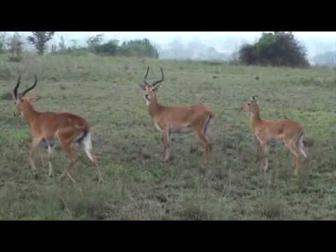 The Uganda Safari