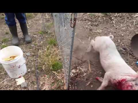 Green bay pig killing