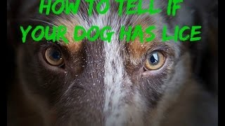 How To Tell If Your Dog Has Lice