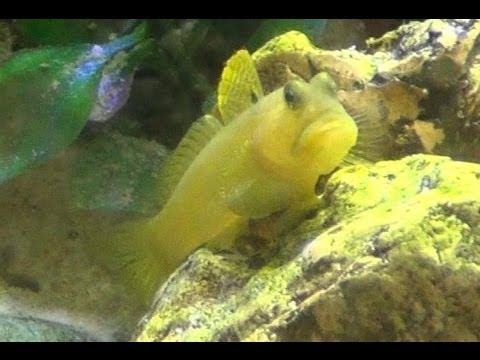 Watchman Goby Pistol Shrimp Yellow Watchman Goby Pistol
