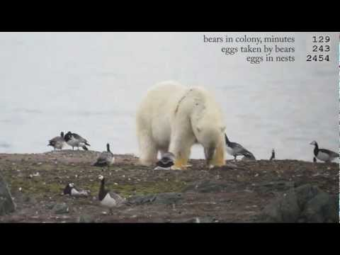 Polar bears go for goose eggs