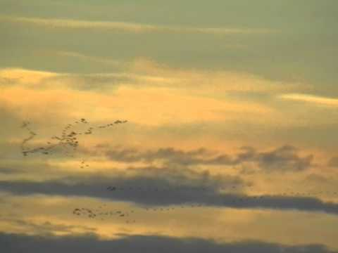 Flock of migratory birds flying in V formation