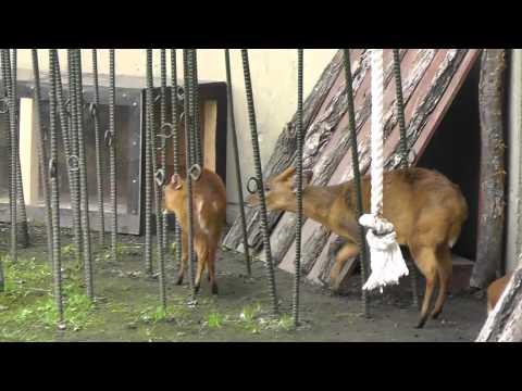 2011年7月4日 旭山動物園 キョン一家2