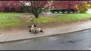 Goose mating encounter in Ramapo, NY