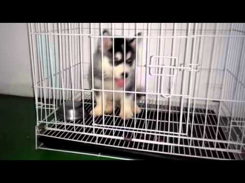 Husky Puppy For Sale - 2 Months, Husky Black Eye from Kepo..